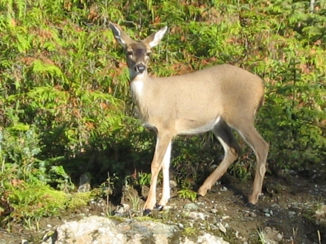 Sitka black-tailed doe