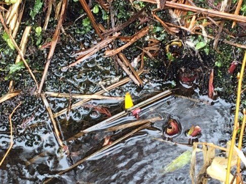 Skunk Cabbage Shoots